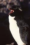 rockhopper penguin vocalizing