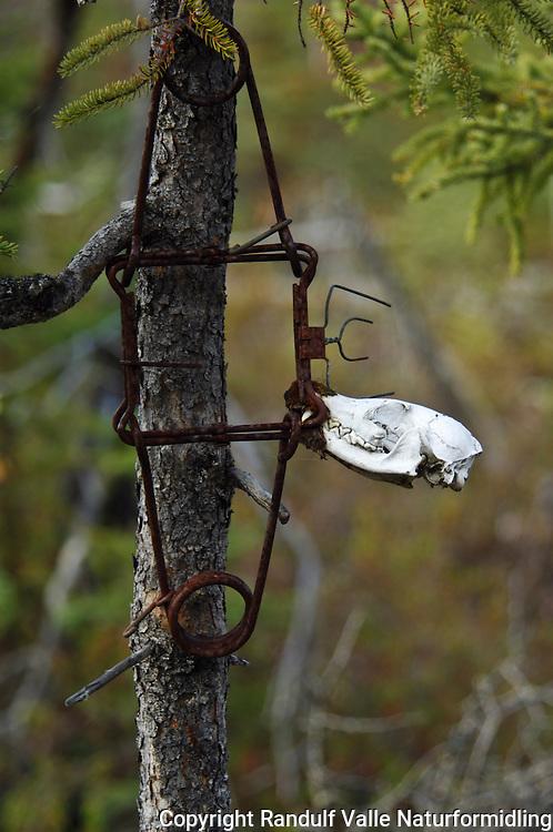 Skalle av dyr etterlatt i felle ---- Skull of animal left in trap