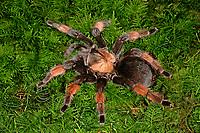 Orangebein-Vogelspinne, Orangebeinvogelspinne, Brachypelma emilia, Mexican redleg, red-legged tarantula, Vogelspinne, Vogelspinnen, Theraphosidae, Aviculariidae, Tarantulas