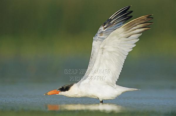 Caspian Tern, Sterna caspia, immature stretching wings up, Welder Wildlife Refuge, Sinton, Texas, USA