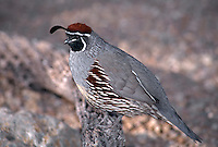35-B6-QG-102   GAMBEL'S QUAIL (Lophortyx gambelii), perched on cholla branch, Saguaro National Park, Arizona, USA.