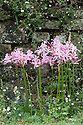 Nerine bowdenii and Erigeron karvinskianus, mid October.