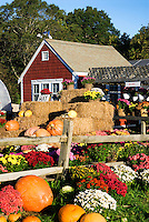 Flowers and pumpkins at a farm, Barnstable, cape Cod, MA