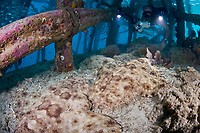 A pair of Tasselled wobbegong, Eucrossorhinus dasypogon, lie face to face beneath a pearl farm pier. Their camouflage blends in with the surrounding environment. Alyui Bay, Raja Ampat, Papua, Indonesia, Pacific Ocean