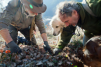 Jean Claude Authier and Max George carefully uncover a truffle they have found, Puget-Theniers, France, 09 February 2011. This plot of land is one of Jean Claude's 'truffle fields'. The land is watered and the ground kept cleared and aired to produce the optimum conditions for truffles, and young oak trees are planted in clearings. Generally, only certain trees in these fields produce truffles - season after season. The truffle hunters know exactly which ones.