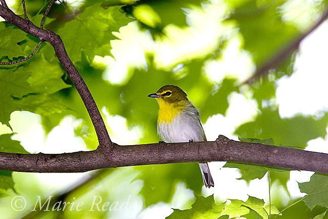Yellow-throated Vireo (Vireo flavifrons), New York, USA