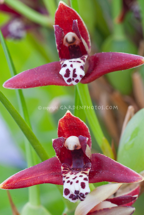 Maxillaria tenuifolia Orchid red flowers with spotted lip