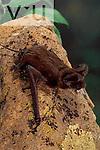 A Big Free Tailed Bat. (Nyctinomops macrotis) Chiricahua Mountains, Arizona