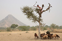 A goatherd climbs a tree to chop down fodder for her animals. Rajasthan has been suffering from a drought for the last eight years...