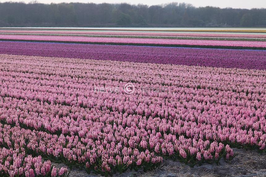 "Hollande, région des Champs de fleurs en avril, Lisse, ici champ de jacinthe en premier plan // Holland, ""Dune and Bulb Region"" in April, Lisse, here, fields of hyacinths."