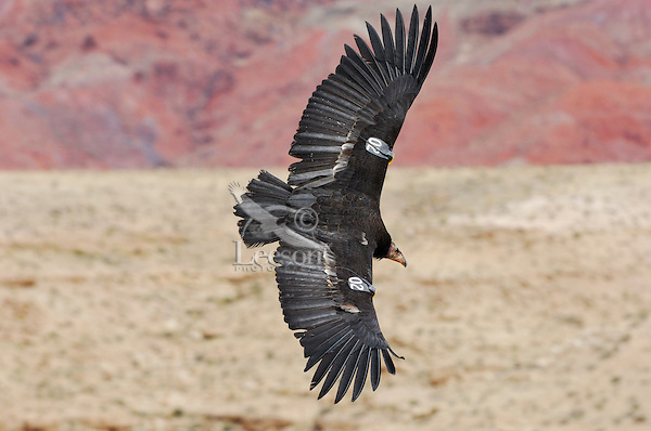 California Condor (Gymnogyps californianus) flying along canyon walls, Marble Canyon (Colorado River), Grand Canyon National Park, Arizona.