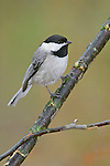 A Tiny Cute Bird, The Carolina chickadee, Poecile carolinensis, On A Rainy Day, Southwestern Ohio, USA