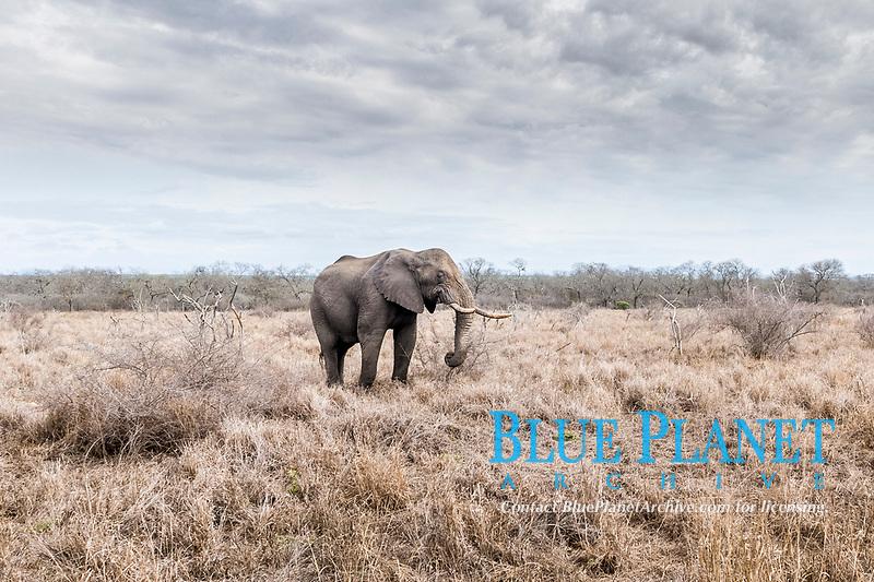 African bush elephant, Loxodonta africana, feeding on bushes, Hlane Royal National Park, Eswatini, Swaziland, Africa