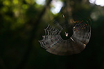 December 5, 2007; Santa Cruz, CA, USA; Detailed view of a spider in its web in Santa Cruz, CA. Photo by: Phillip Carter