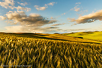 Contoured hills of wheat in late afternoon light, Palouse region of eastern Washington.