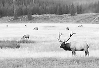 A bull elk keeps an eye on his harem in the Madison River Valley.