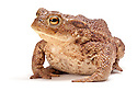 Common european toad {Bufo bufo}, Photographed on a white background, Derbyshire, UK. March.