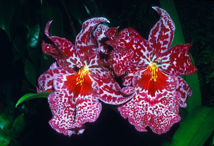 Oncidopsis Susan Bogdanow aka Odontonia or Odontioda Susan Bogdanow 'Aalsmeer', intergeneric Orchid hybrid, Difficult, for advanced grower. Oncidopsis Avril Gray x Miltoniopsis Franz Wichmann, 1977