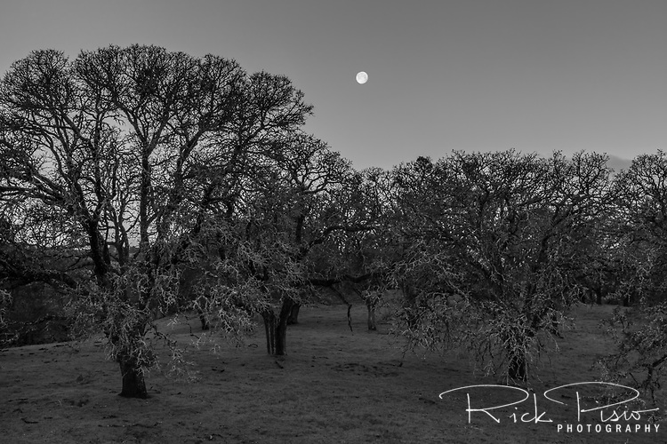The moon and oak trees in the early morning light at the Morgan Territory Regional Preserve in California's Contra Costa County.