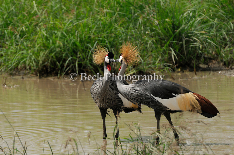 A pair of Grey Crowned Crane