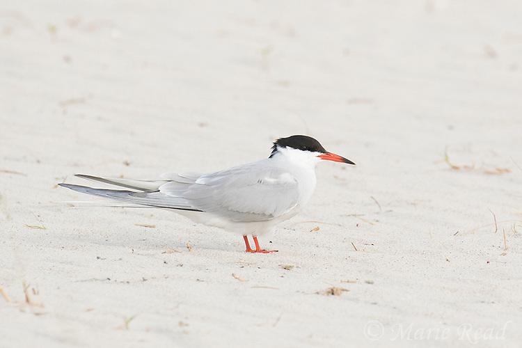 Common Tern (Sterna hirundo), adult in breeding plumage, portrait, Nickerson Beach, Long Island, New York, USA