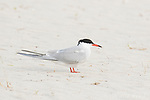 Common Tern (Sterna hirundo), adult in breeding plumage, portrait, Nickerson Beach, Long Island, New York, USA