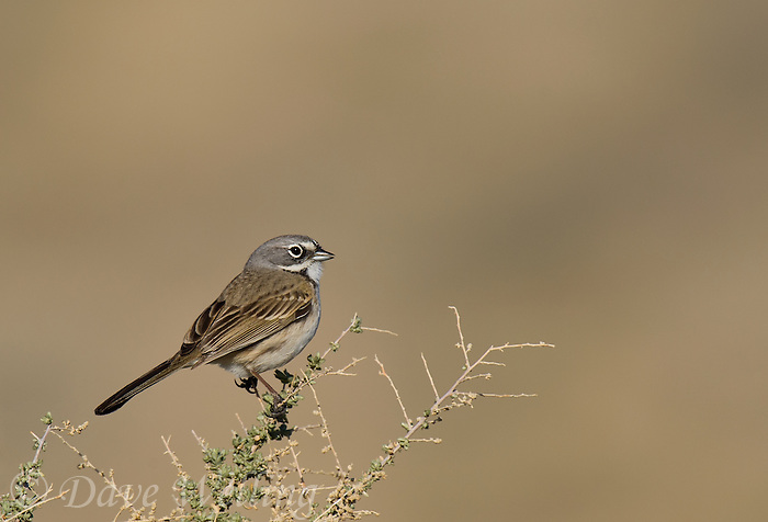 578830031 a wild sage sparrow amphispiza belli nevadensis perches on a sagebrush branch in kern county california