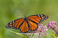 03536-04812 Monarch Butterfly (Danaus plexippus) male on Swamp Milkweed (Asclepias incarnata) Marion Co., IL