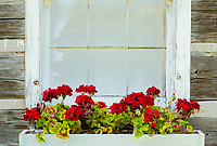 A window box on an old log cabin is filled with colorful Geraniums, Grand View LandTrust Park, Ellison Bay, Door County, Wisconin