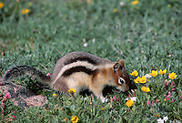 35-M02B-SG-05    GOLDEN-MANTLED GROUND SQUIRREL (Callospermophilus lateralis) among flowers, Rocky Mountain National Park, Colorado, USA