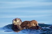 Sea Otter (Enhydra lutris)--mother with young pup.  Alaska.