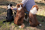 Three border collies watching during calf marking and doctoring with the Dell'Orto outfit, Goodell Ranch, Paloma, Calif.