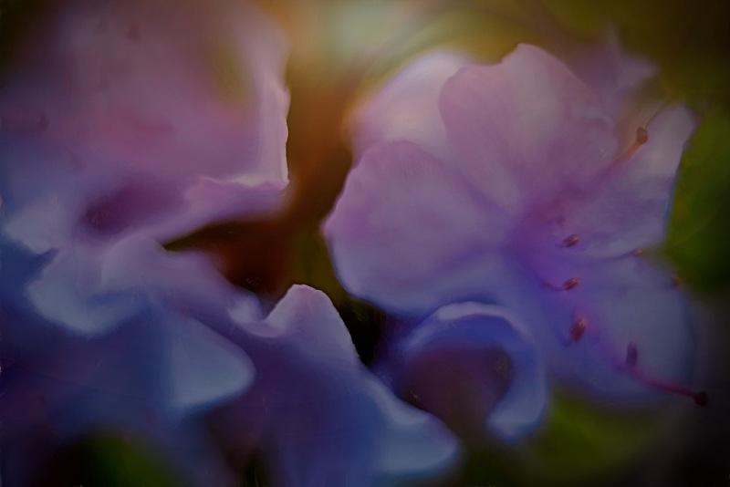 Close up of Blue Azalea. Oregon
