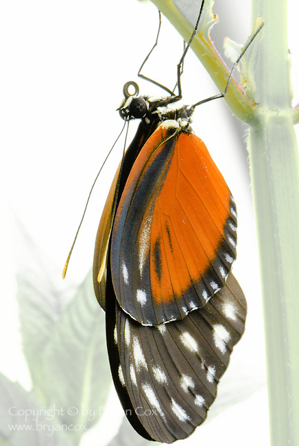 Golden helicon butterfly (Heliconius Hecale)