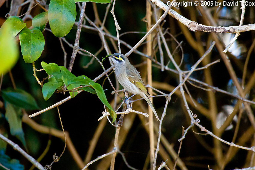 Yellow-Faced Honeyeater, Eungella NP, Queensland, Australia