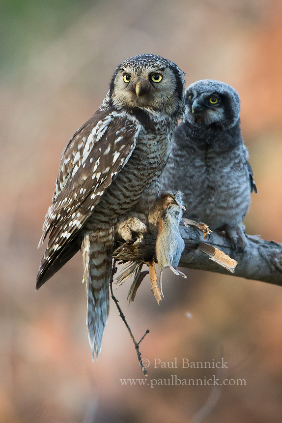 A Northern Hawk Owl parent prepares to feed a vole to a fledglling.