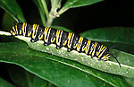 Caterpillar of Monarch butterfly (Danaus plexippus) larvae striped metamorphosis lifecycle warning colours poisonous.USA....