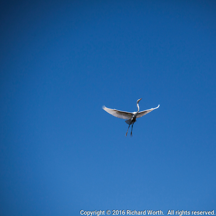 A Great egret in flight, wings spread, against a clear blue sky with ample copy space.  1X1 can crop to horizontal or vertical.