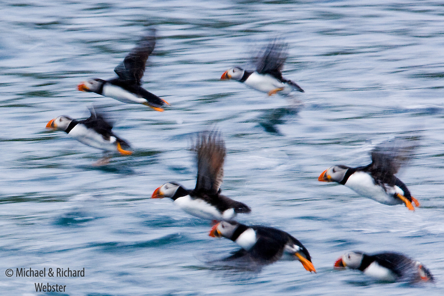 A group of Puffins taking off from the sea.