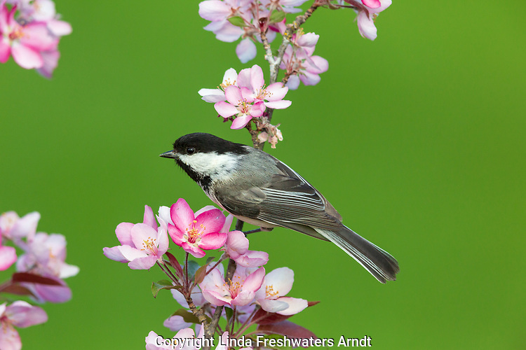 Black-capped chickadee perched in a flowering crab apple tree.