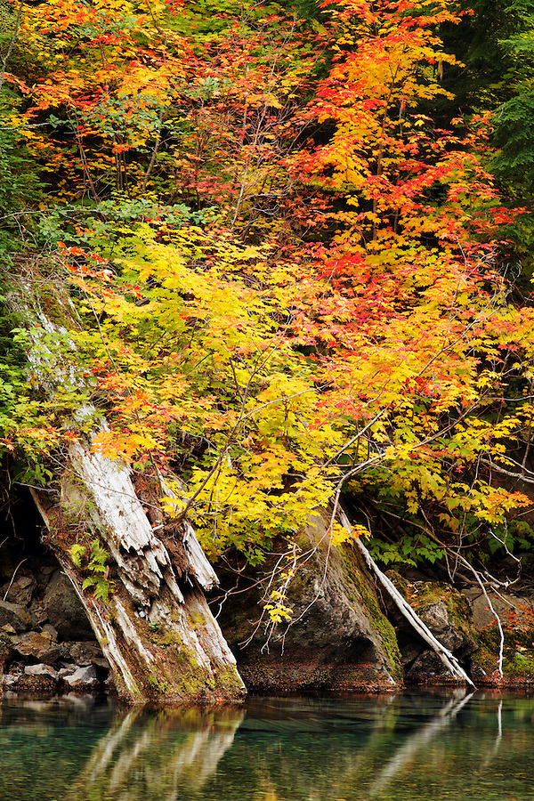 Vine maples and decaying tree trunks at the edge of the Ohanapecosh River, Grove of the Patriarchs Trail, Mount Rainier National Park, Washington, USA