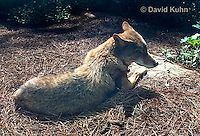 0821-1001  Coyote in North Carolina, Canis latrans  © David Kuhn/Dwight Kuhn Photography