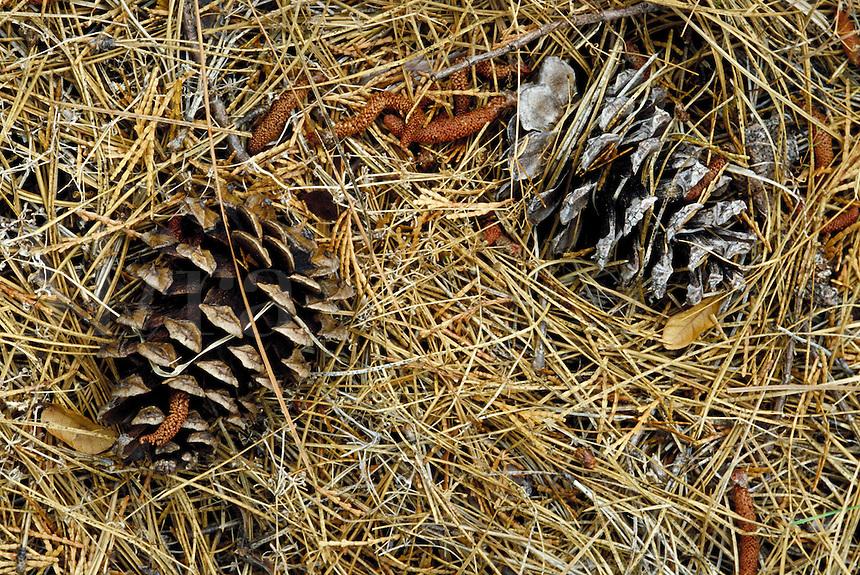 Pine cones, fall, autumn. Oregon USA Josephine County.