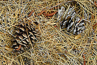 Pine cones, fall, autumn. Oregon USA Josephine County.