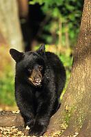 Black Bear cub.  Great Lakes Region.  Fall.