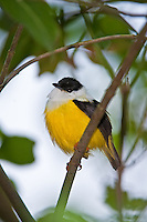White-collared Manakin, Belize