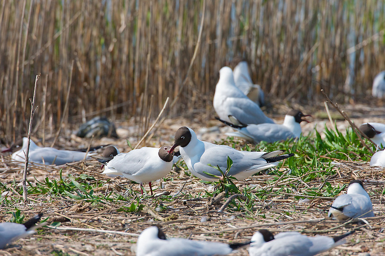 Black headed Gull (Chroicocephalus ridibundus) Begging for a meal, at the nest site. Possibly the female is the one begging a meal from the male. It seems to form part of the breeding ritual in addition to the habit where one will nest as the other brings in food. In this image the birds are away from the nesting site, and there is a lot of persistence by the begging bird for the partner to feed it. A thought might be this forms part of the process in getting ready to feed young. The sounds made are very similar to that made by young birds when begging a meal.
