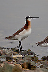 Wilson's Phalarope, North Dakota.