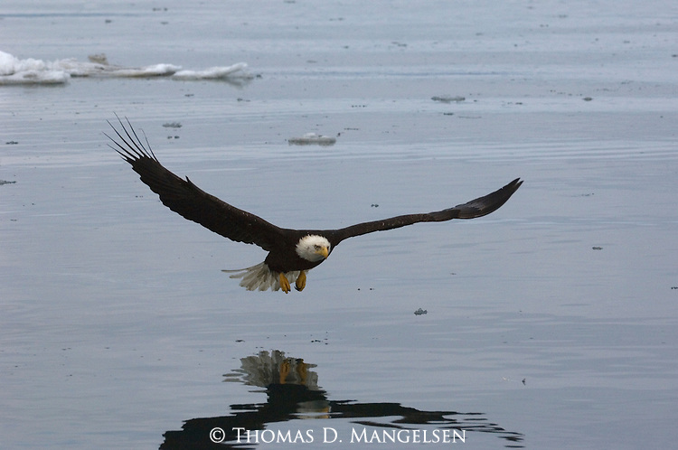A reflection of a bald eagle over the water in Homer, Alaska.
