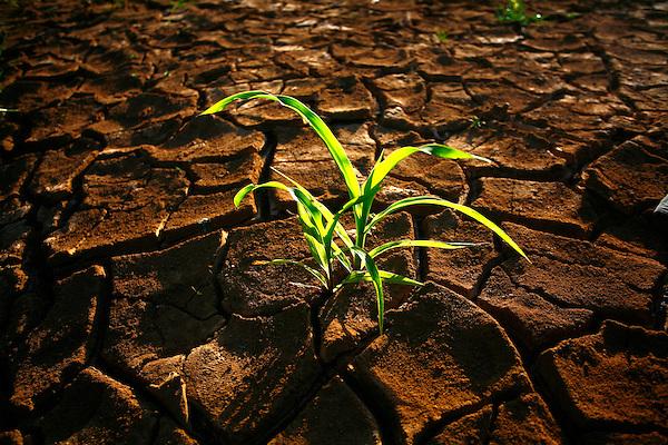 Santa Fe de Minas_MG, Brasil...Detalhe do milho nascendo na terra seca...Detail of the corn borning in the dry land...Foto: LEO DRUMOND / NITRO
